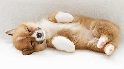 Cute puppy lying on her side
