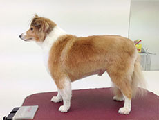 shetland sheepdog Breed Prices Dog Grooming Adelaide