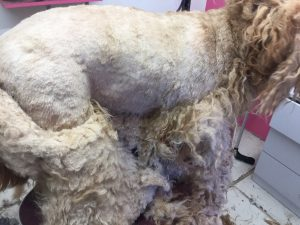 a badly matted coat being removed dog grooming prices