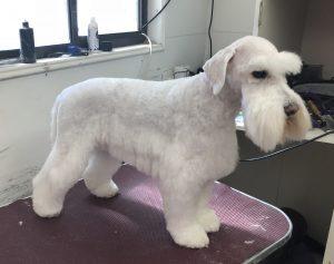 Dog clipping white schnauzer