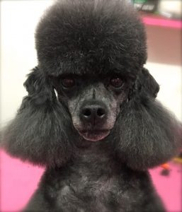Contact Jaimee to have your poodle topknot scissored